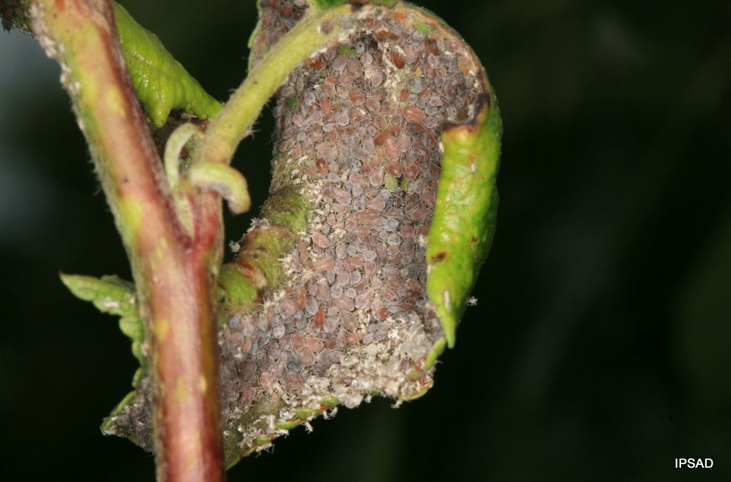 Mszyca jabłoniowo-babkowa