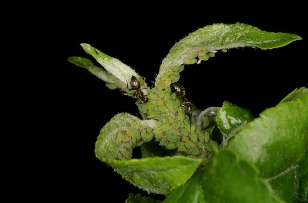 Mszyca jabłoniowa