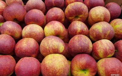 Dojrzałość zbiorcza jabłek 18.09.2020