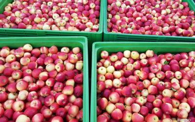 Dojrzałość zbiorcza jabłek 24.09.2020