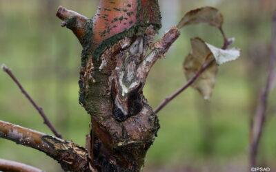 Rak kory jabłoni
