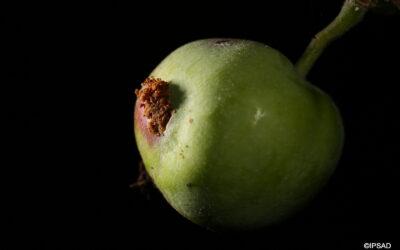 2-08 Owocówka jabłkóweczka