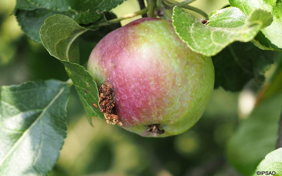 26-08 Owocówka i uwagi związane z przechowywaniem owoców